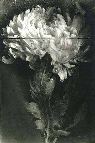 Crisantemo, fotografia de Pilar Pequeño