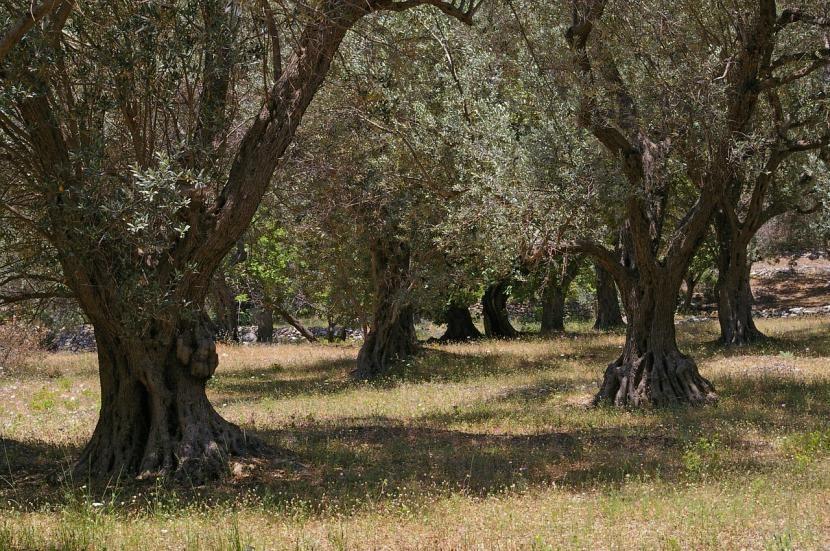 Olivos de grecia
