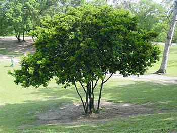 árbol de Pau-Brasil