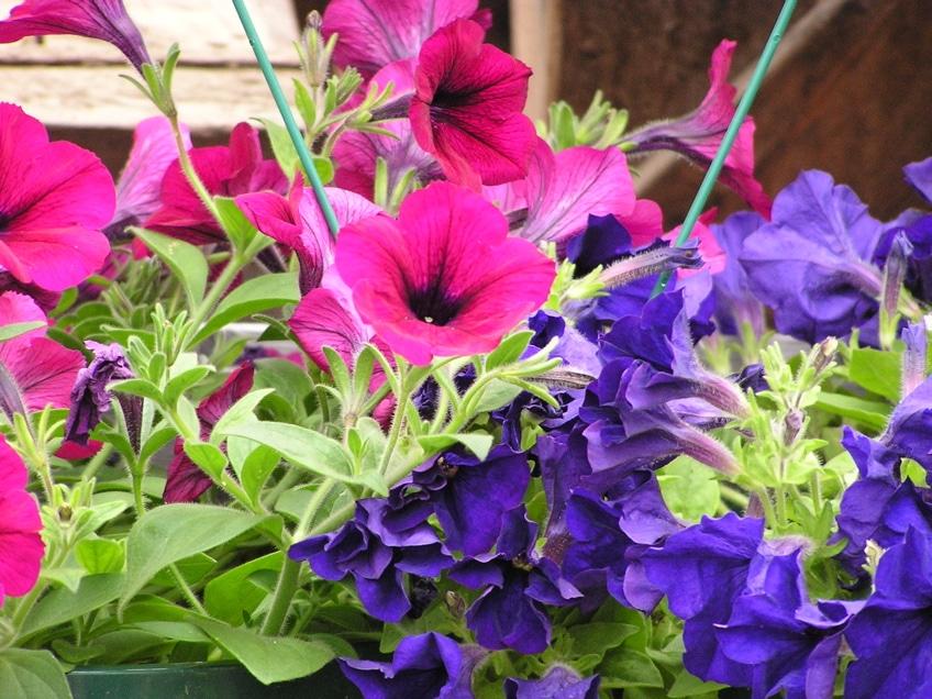 Petunias, como las que adornaran el entorno del Cortijo de Miraflores