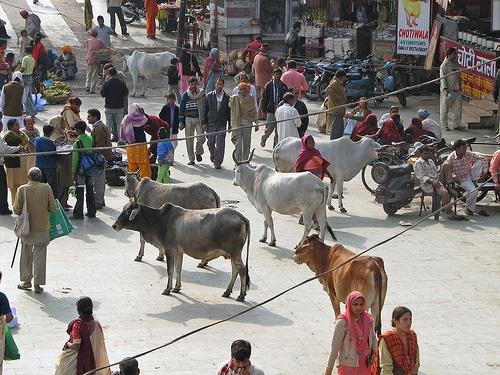 vacas-india