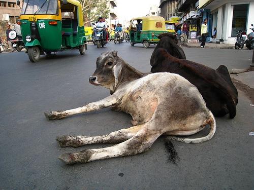 vacas-india2