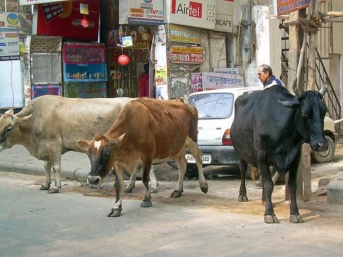 vacas-india3