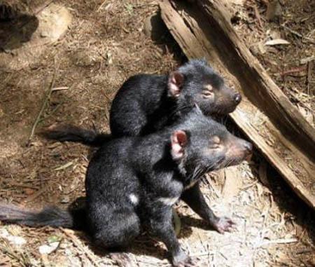 Sarcophilus harrisii(Demonio de Tasmania) Demonio-de-tasmania