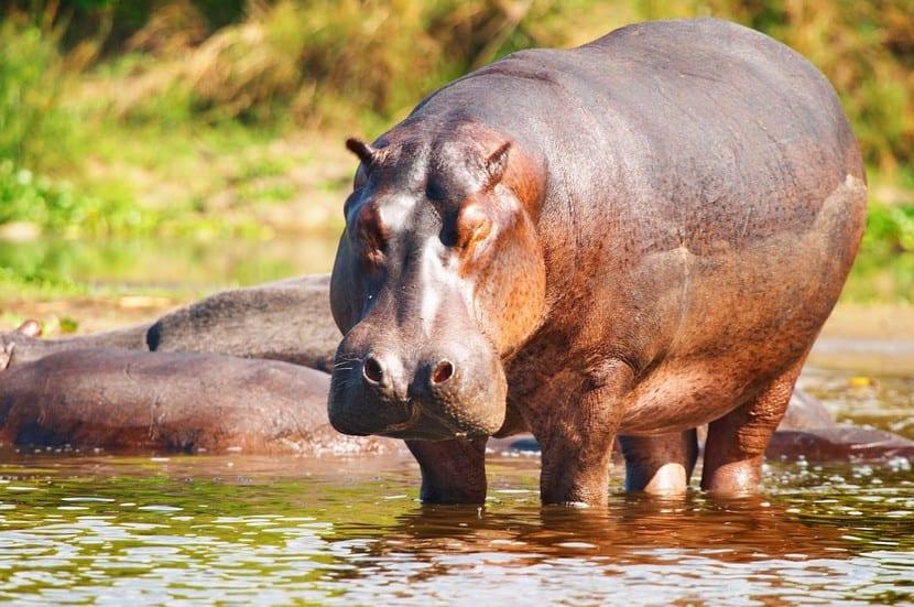 Hipopótamo del Nilo