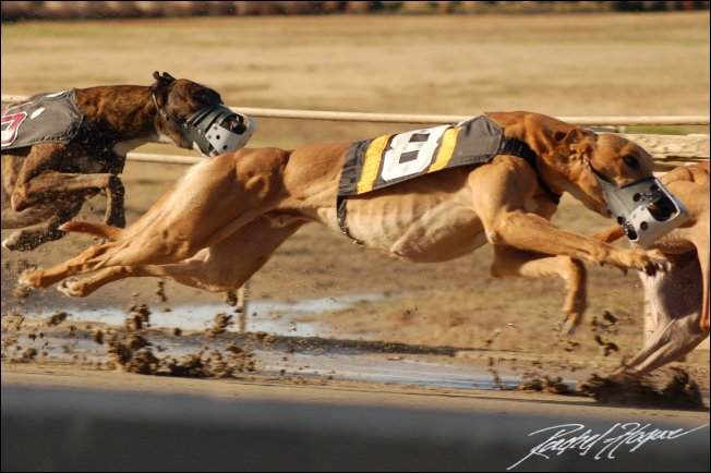 greyhound-race