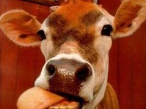 orina-de-vaca4