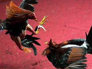 0_61_012407_cock_fight