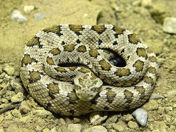 El peligro de las serpientes en el desierto2