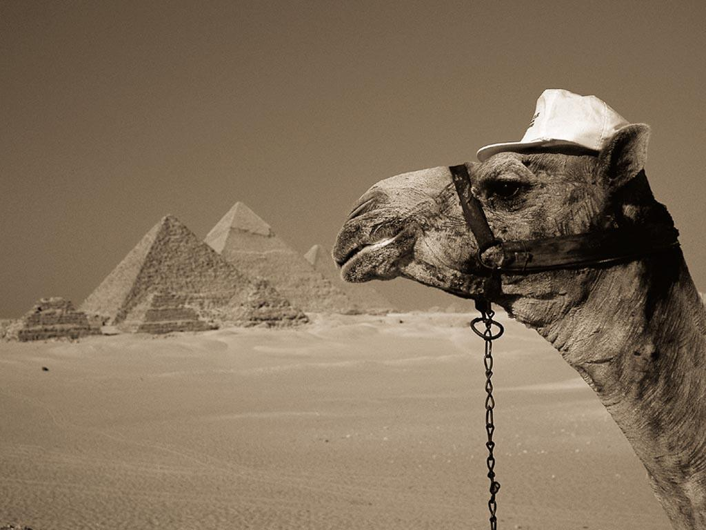 Los camellos como medio de transporte