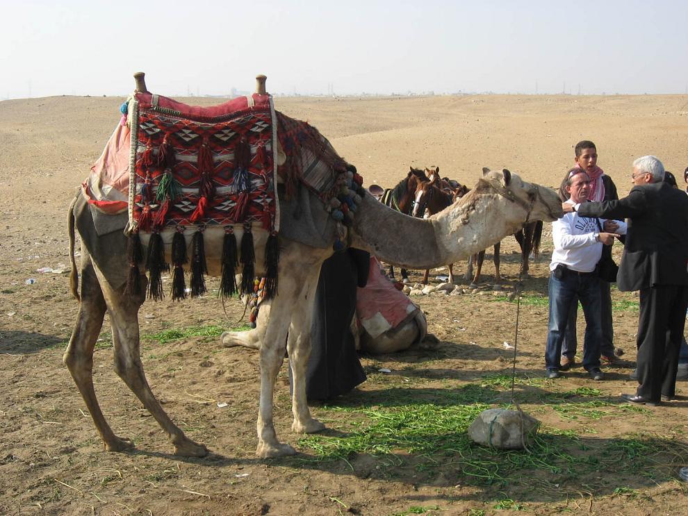 Los camellos como medio de transporte2