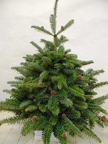 Arboles de navidad en londres for Precio abeto vivero