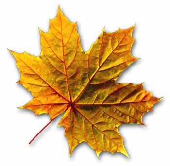 Hoja arbol arce La bandera de Canadá