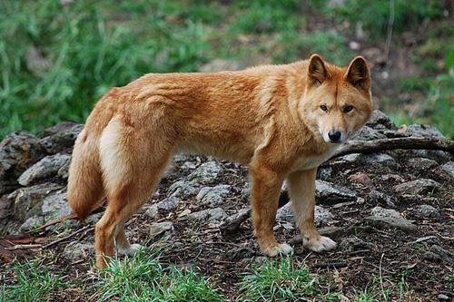 Pide una imagen - Página 3 Dingo-2