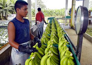 Bananos en Venezuela