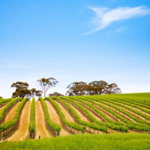 vinos22 Ruta de Vinos en Australia