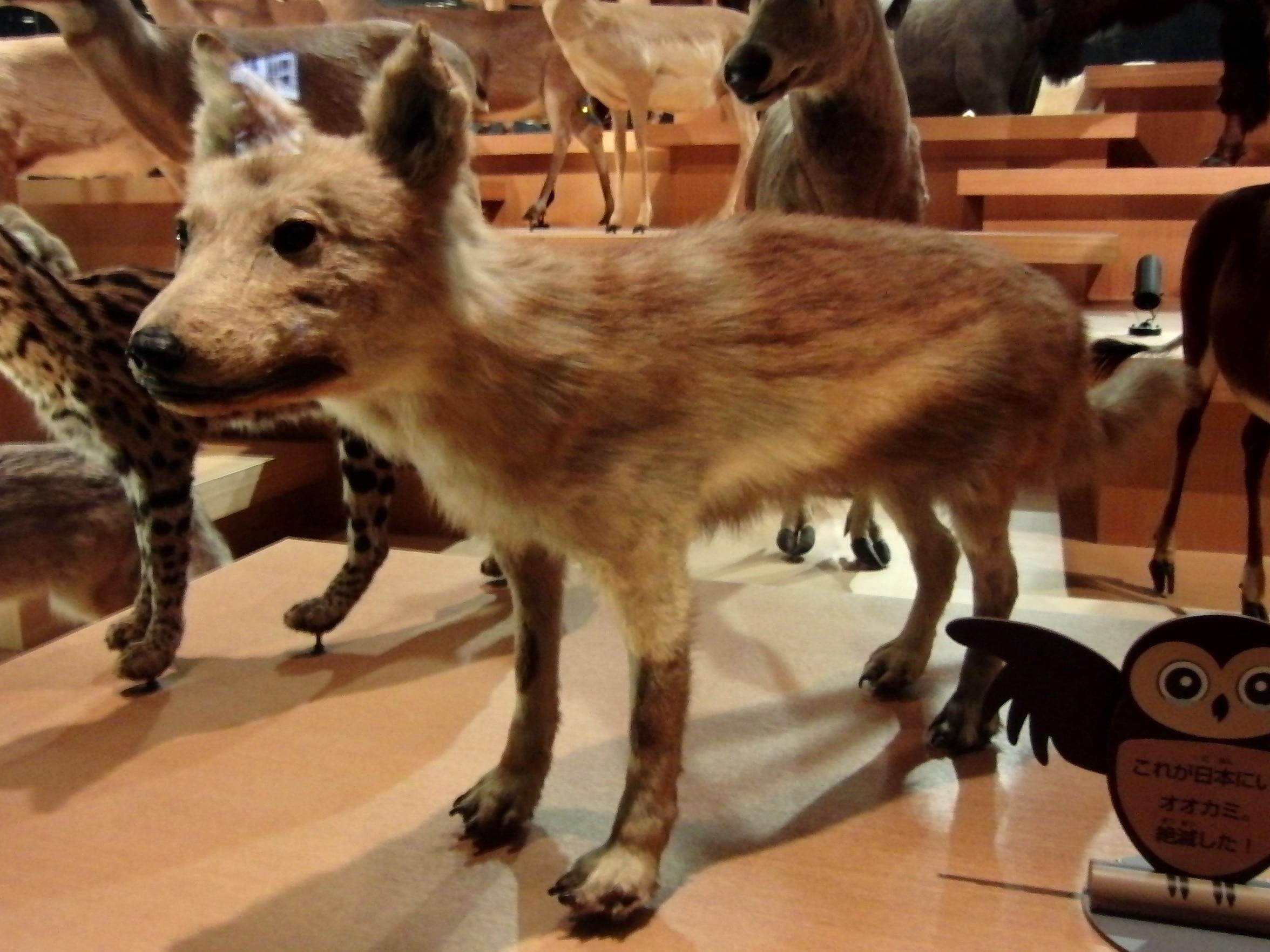 Lobo de Honshu