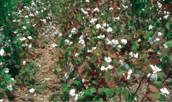 Cultivo de algodón en Venezuela