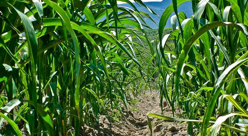 Cultivos agrícolas de Plantas de maíz