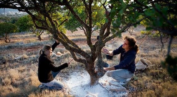 árbol de la resina en Chios