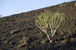 La flora de El Hierro