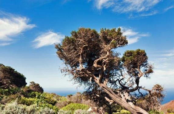 Árbol simbólico de El Hierro