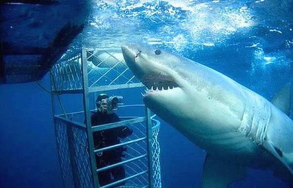 buceo tiburón blanco