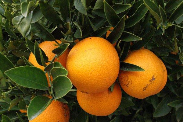 El 'Mercat de la Taronja'  en Almassora.