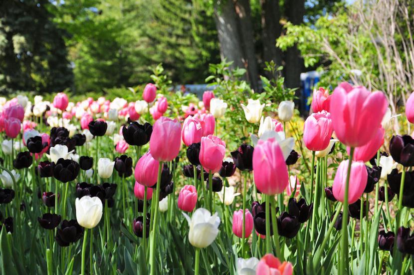 Tulipanes en Canadá