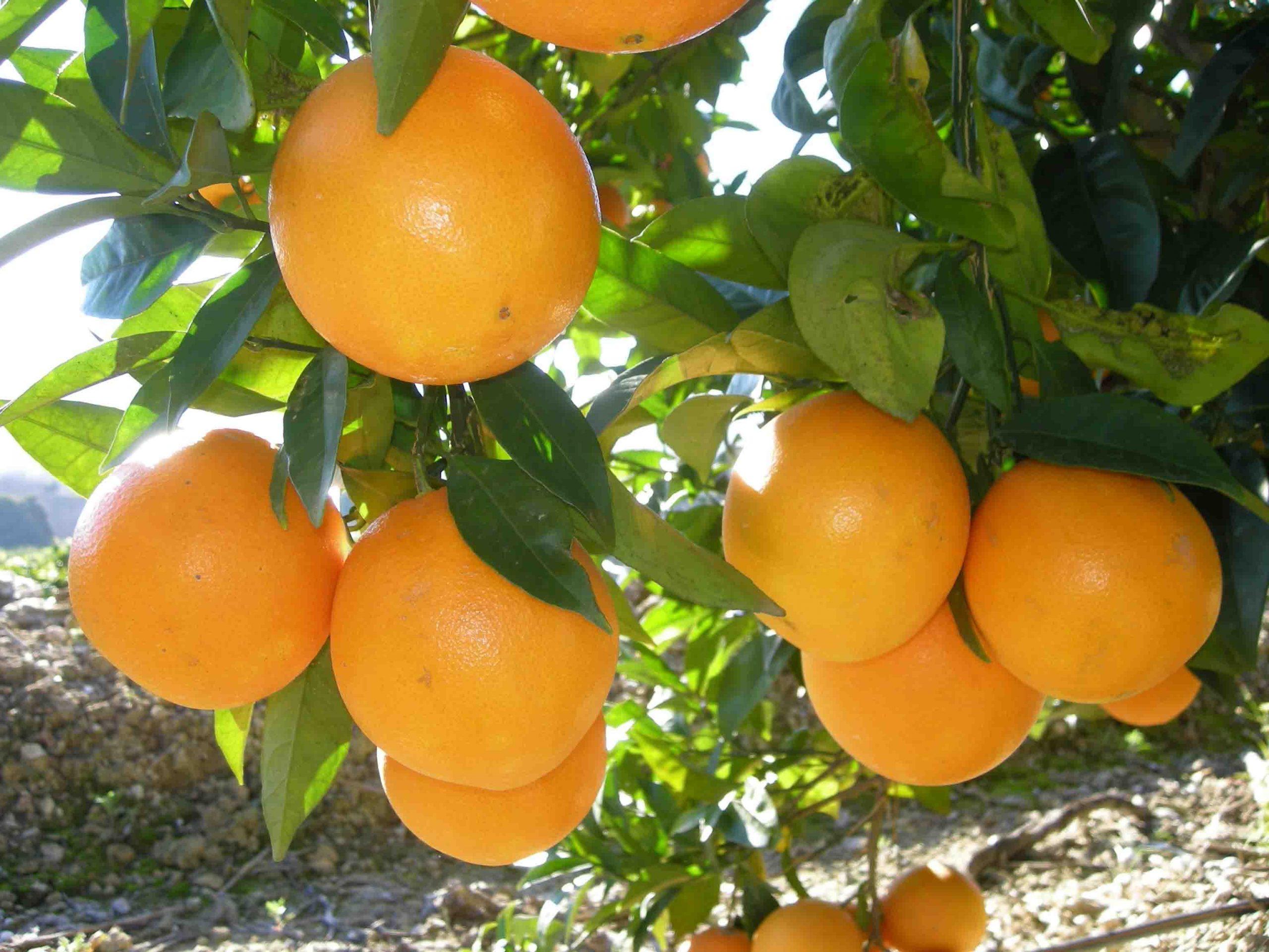 'Matafruit Naranjas' presenta la 'Ruta Turística y Gastronómica de la Naranja'
