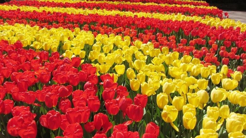 tulipanes en campo de Holanda