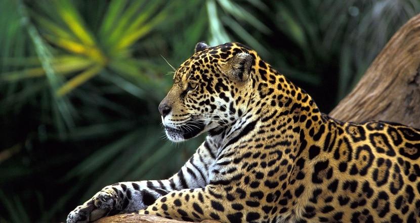 leopardo en Venezuela