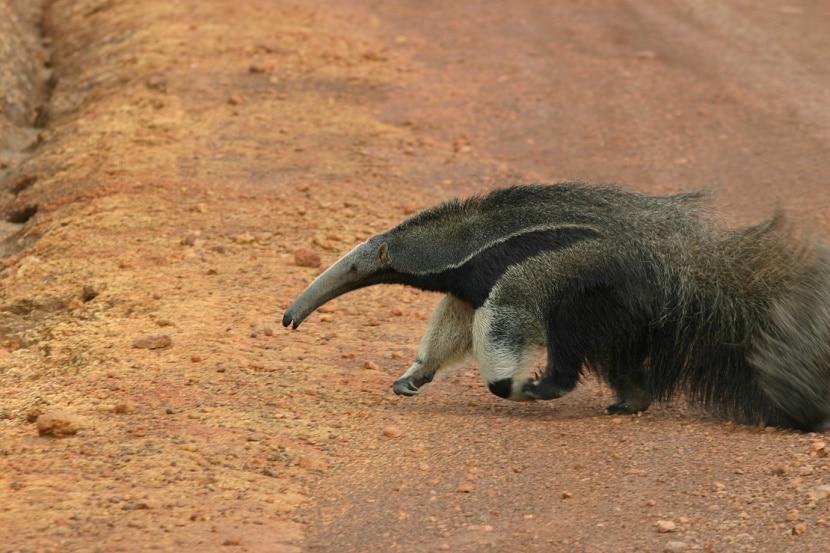 oso hormiguero en gran sabana