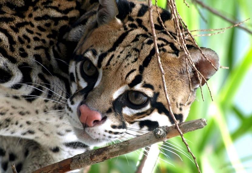 gato leopardo de venezuela