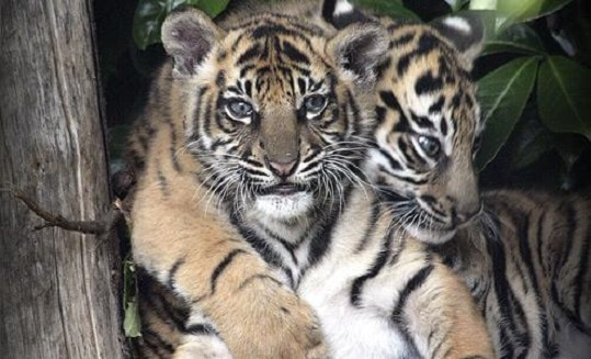 Dos cachorros de Tigre de Sumatra que nacieron en el zoológico