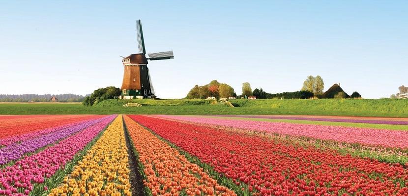 Los tulipanes, una de las coloridas atracciones durante la primavera
