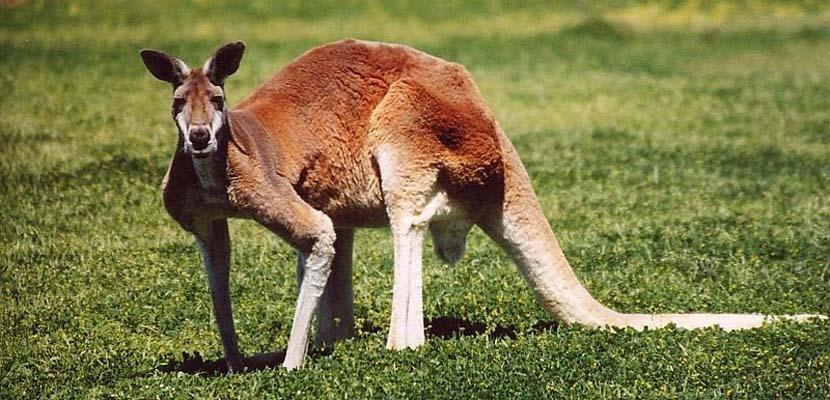 Canguro rojo australiano