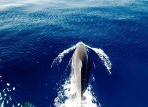 Delfín Tenerife
