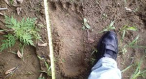 Bigfoot footprint
