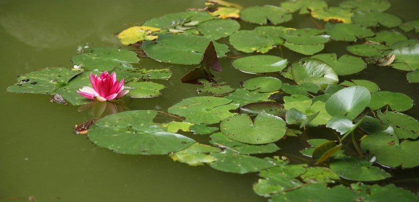 Las Flores De Loto En Japón