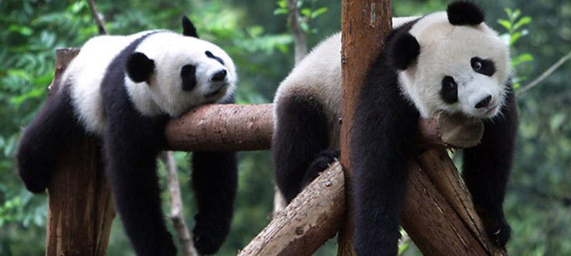 origen del oso panda 3