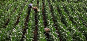 Plantaciones de tabaco en Cuba