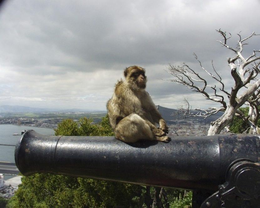 Mono en el Peñón de Gibraltar