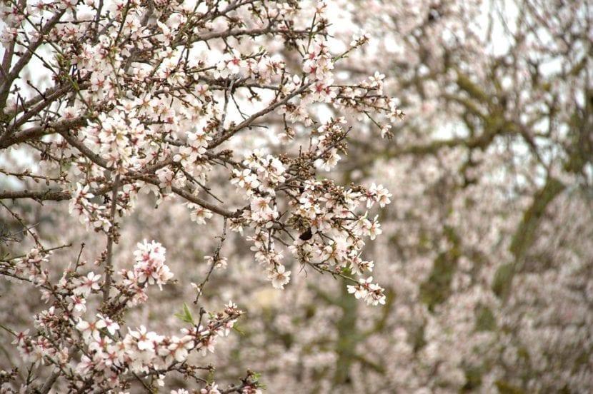 Los almendros florecen en febrero