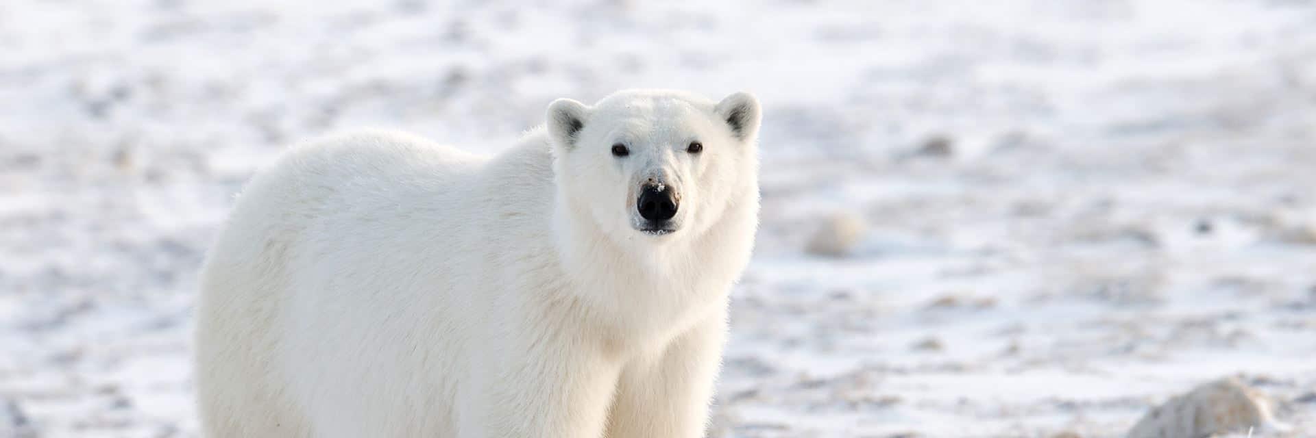 oso polar canada