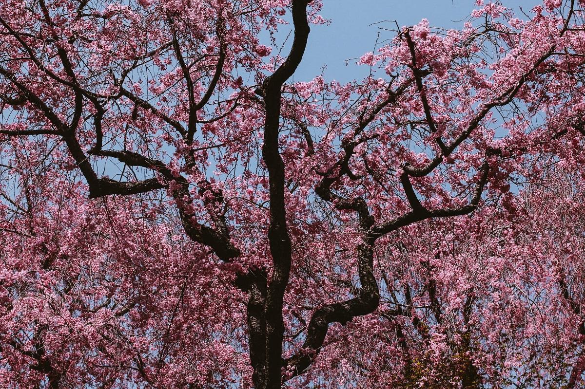 hanami primavera