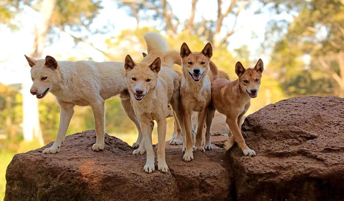 dingos de Australia