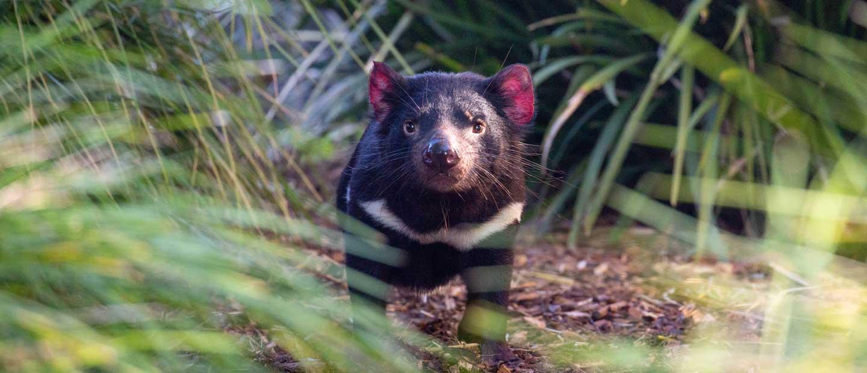 Fauna de Australia: Diablo de Tasmania