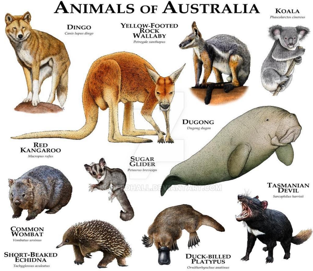 animales Australia