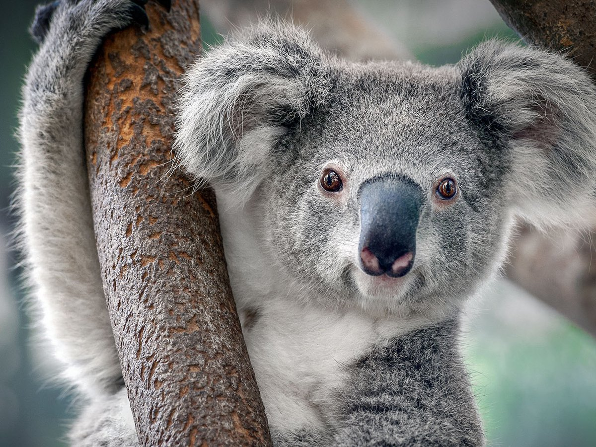 koala austraiano